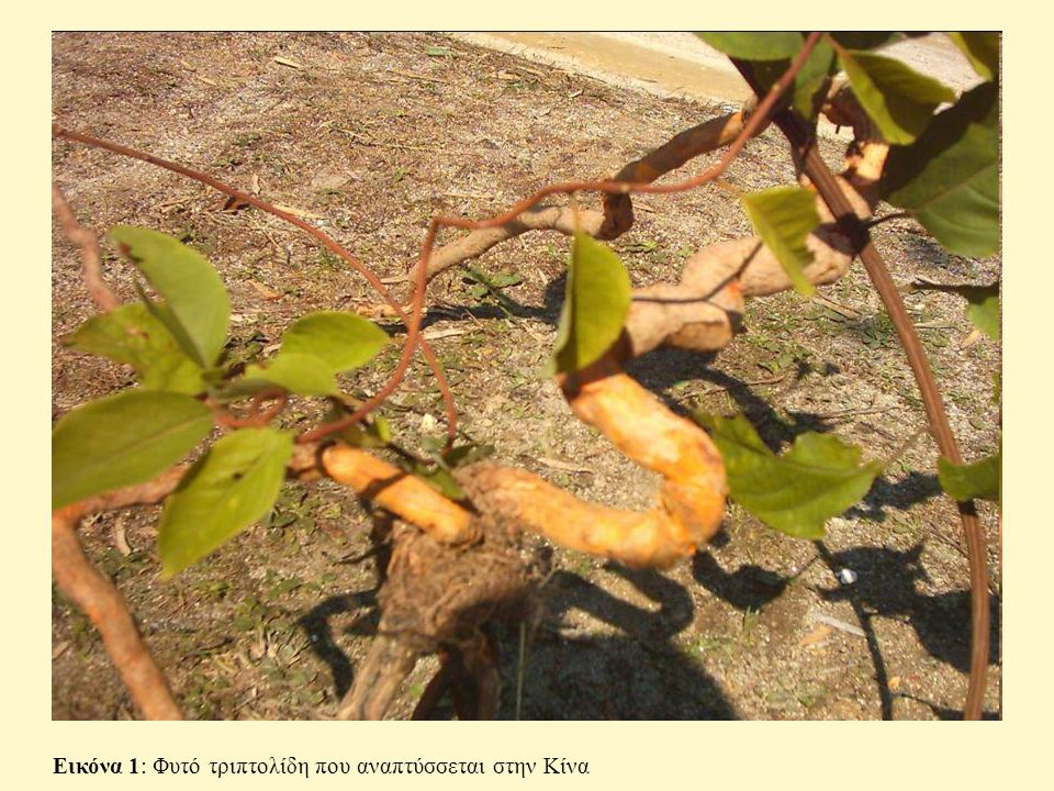 Εικόνα 1: Φυτό τριπτολίδη που αναπτύσσεται στην Κίνα