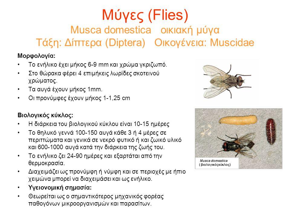 Μύγες (Flies) Musca domestica οικιακή μύγα Τάξη: Δίπτερα (Diptera) Οικογένεια: Muscidae