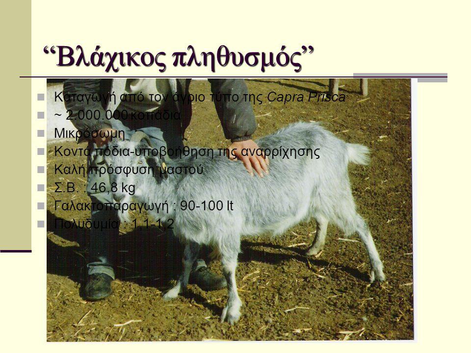 Βλάχικος πληθυσμός Καταγωγή από τον άγριο τύπο της Capra Prisca