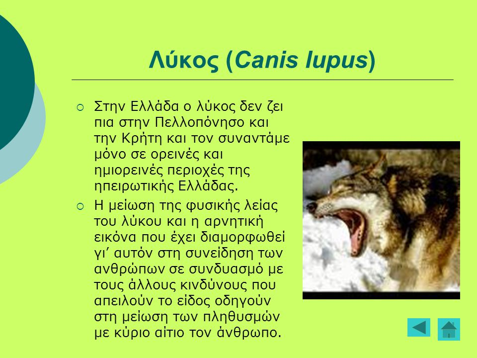 Λύκος (Canis lupus)