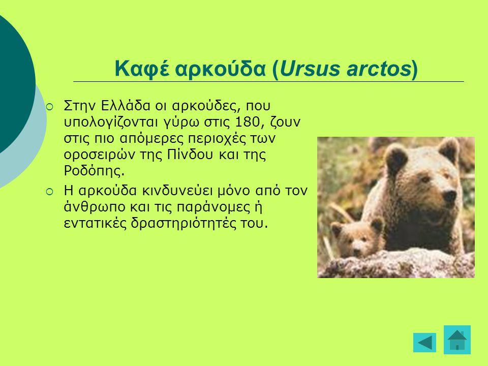 Καφέ αρκούδα (Ursus arctos)
