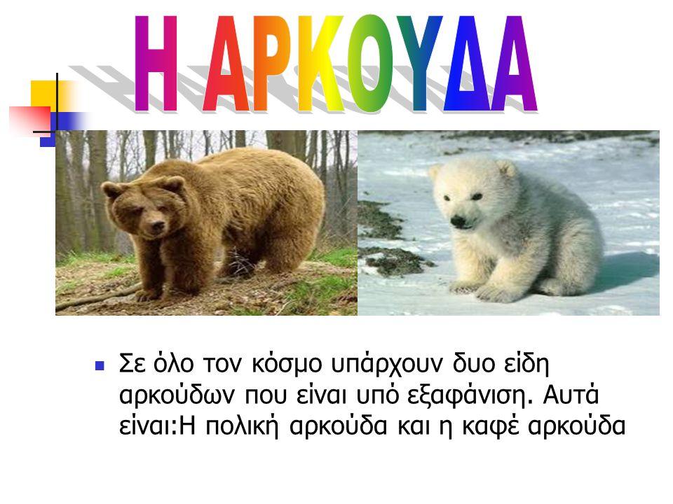 Η ΑΡΚΟΥΔΑ Σε όλο τον κόσμο υπάρχουν δυο είδη αρκούδων που είναι υπό εξαφάνιση.