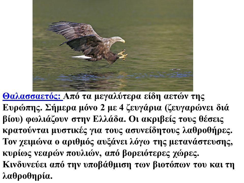 Θαλασσαετός: Από τα μεγαλύτερα είδη αετών της Ευρώπης