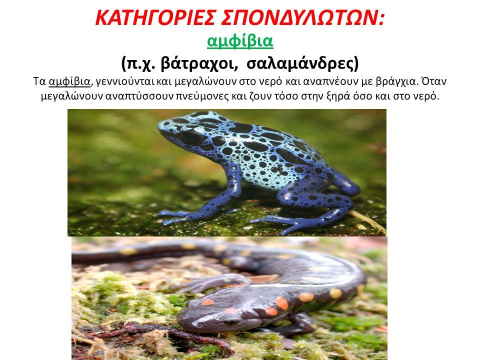 ΚΑΤΗΓΟΡΙΕΣ ΣΠΟΝΔΥΛΩΤΩΝ: (π.χ. βάτραχοι, σαλαμάνδρες)