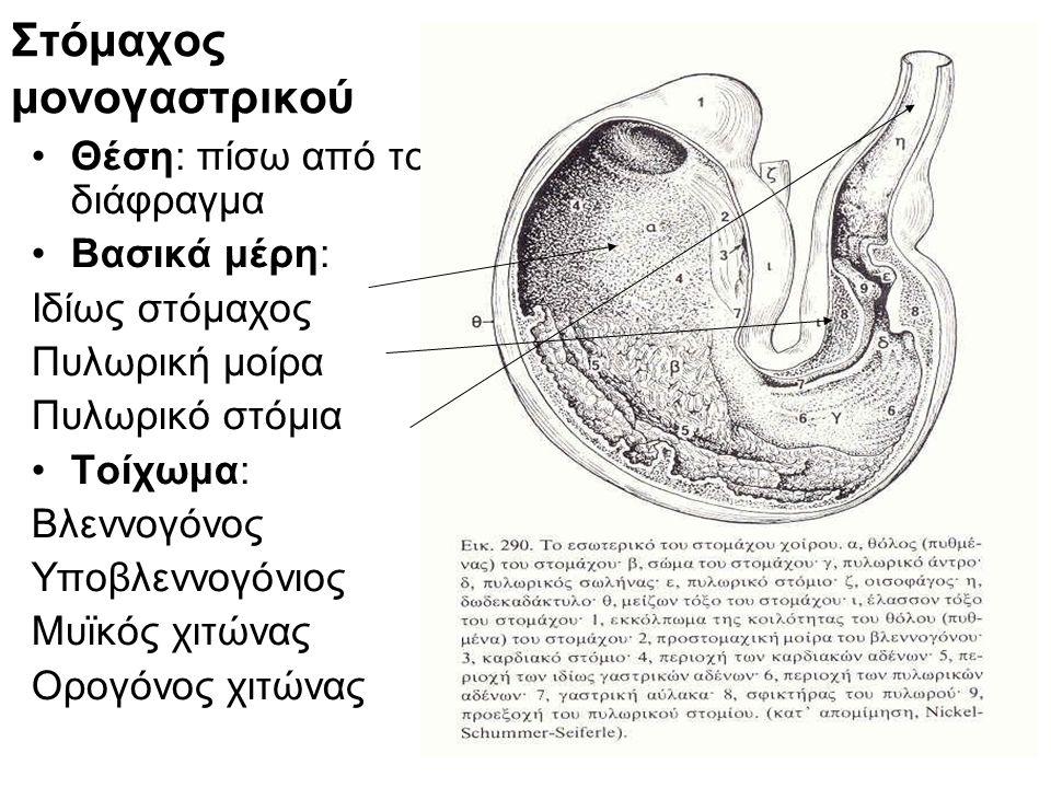 Στόμαχος μονογαστρικού
