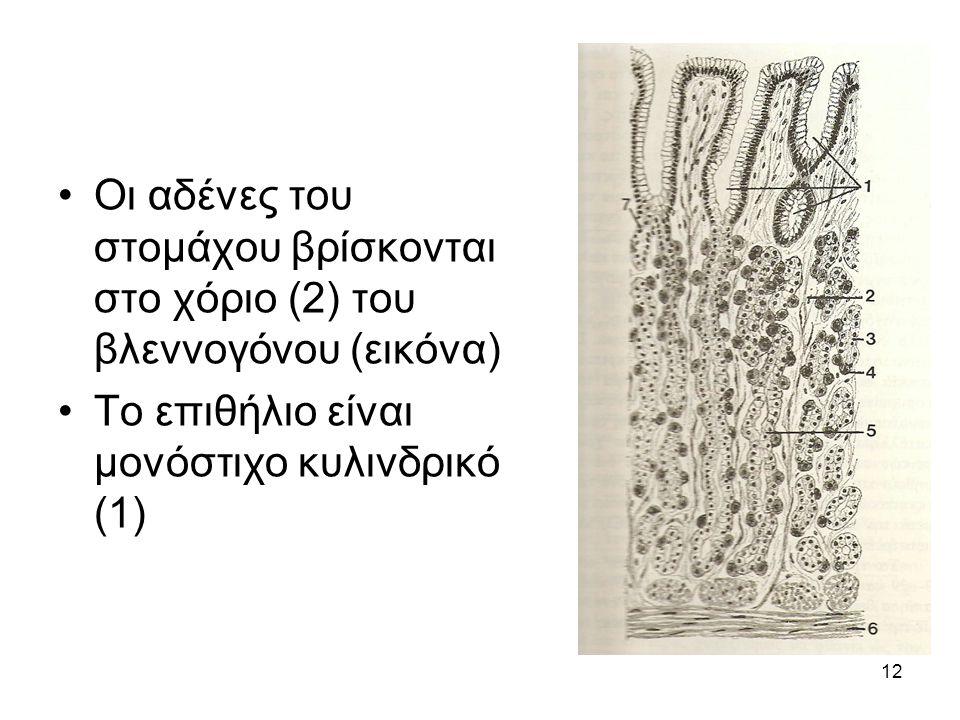 Οι αδένες του στομάχου βρίσκονται στο χόριο (2) του βλεννογόνου (εικόνα)