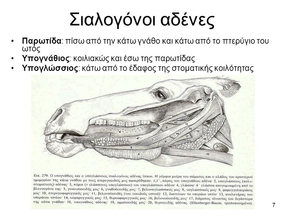 Σιαλογόνοι αδένες Παρωτίδα: πίσω από την κάτω γνάθο και κάτω από το πτερύγιο του ωτός. Υπογνάθιος: κοιλιακώς και έσω της παρωτίδας.