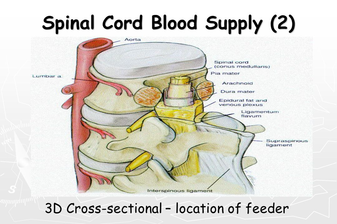 Spinal Cord Blood Supply (2)