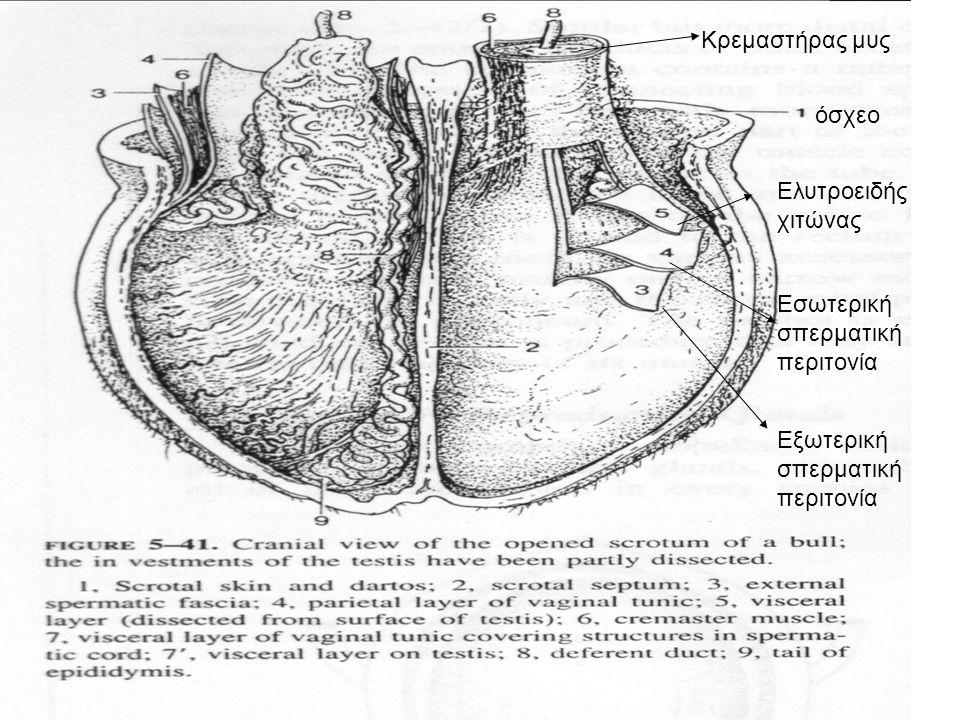 Κρεμαστήρας μυς όσχεο. Ελυτροειδής χιτώνας. Εσωτερική σπερματική περιτονία.