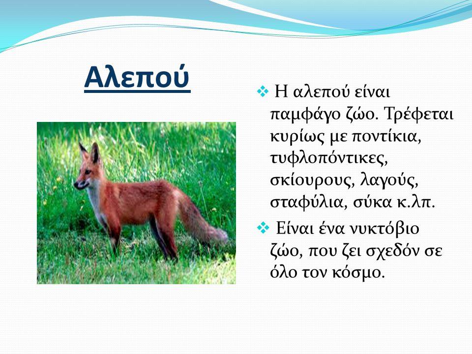 Αλεπού Είναι ένα νυκτόβιο ζώο, που ζει σχεδόν σε όλο τον κόσμο.