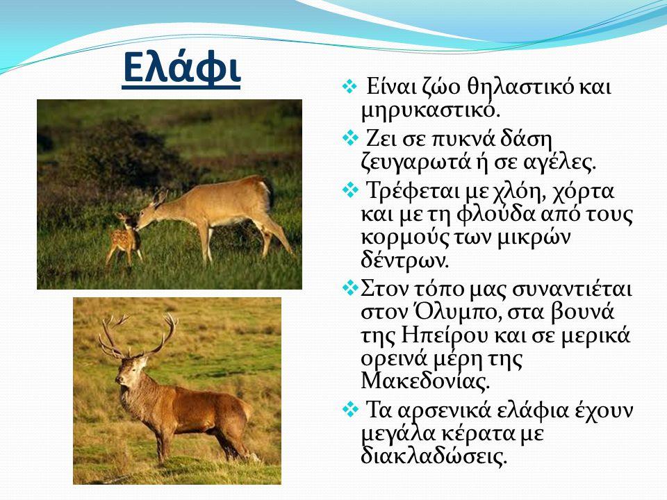 Ελάφι Ζει σε πυκνά δάση ζευγαρωτά ή σε αγέλες.