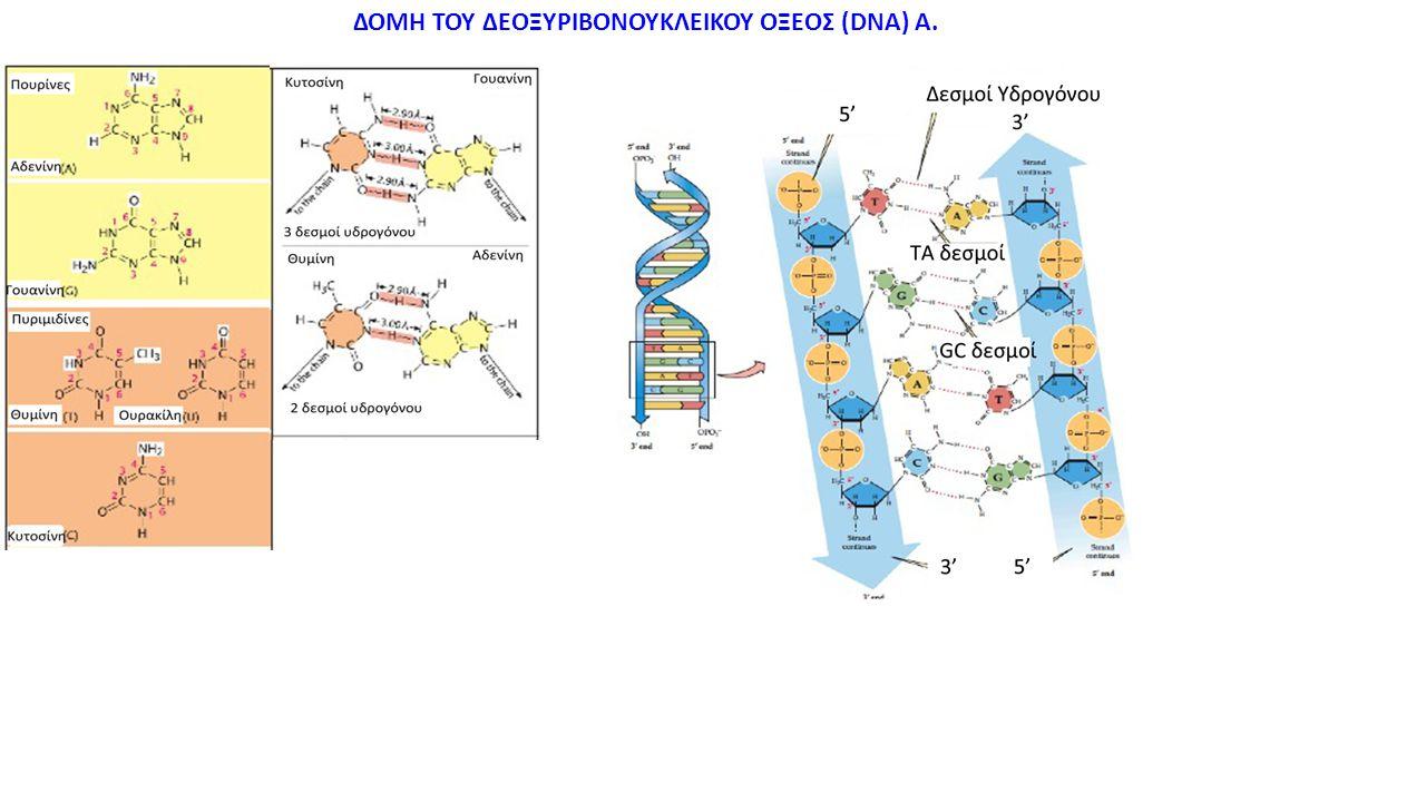 ΔΟΜΗ ΤΟΥ ΔΕΟΞΥΡΙΒΟΝΟΥΚΛΕΙΚΟΥ ΟΞΕΟΣ (DNA) Α.