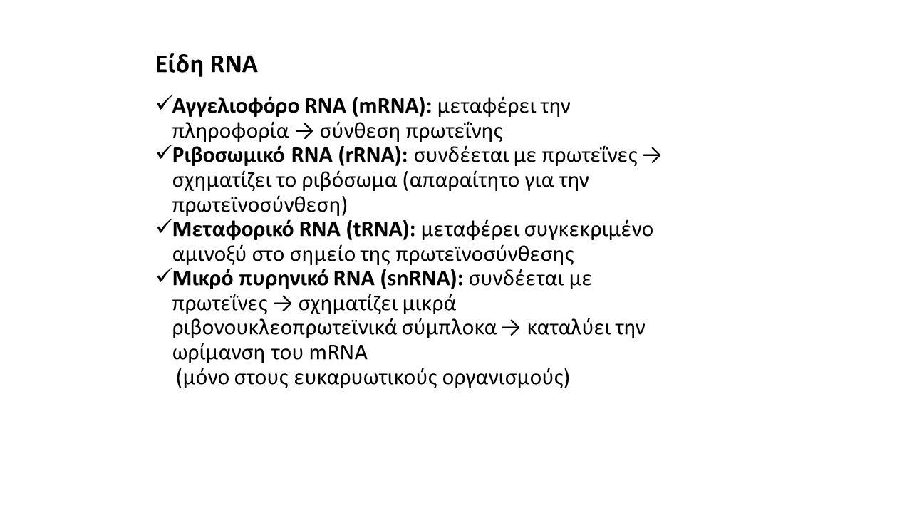 Είδη RNA Αγγελιοφόρο RNA (mRNA): μεταφέρει την πληροφορία → σύνθεση πρωτεΐνης.