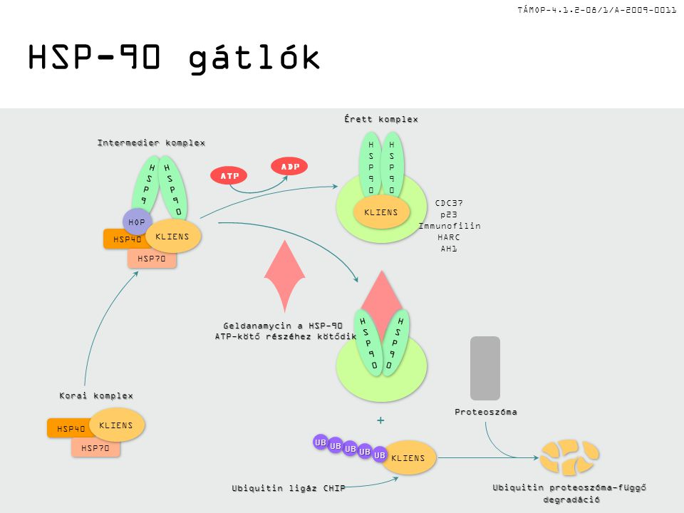 HSP-90 gátlók + Ubiquitin ligáz CHIP Proteoszóma