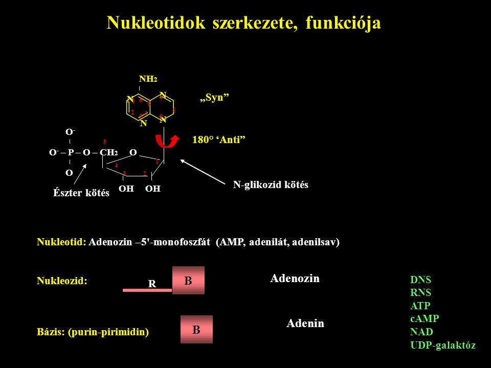 Nukleotidok szerkezete, funkciója
