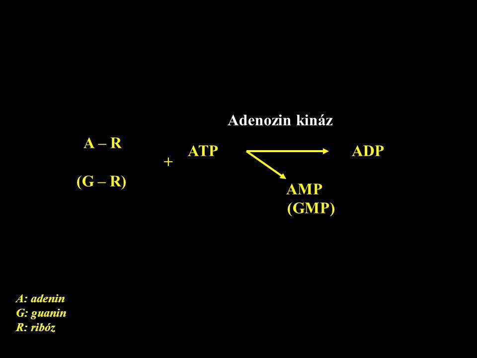 Adenozin kináz A – R ATP ADP + (G – R) AMP (GMP) A: adenin G: guanin