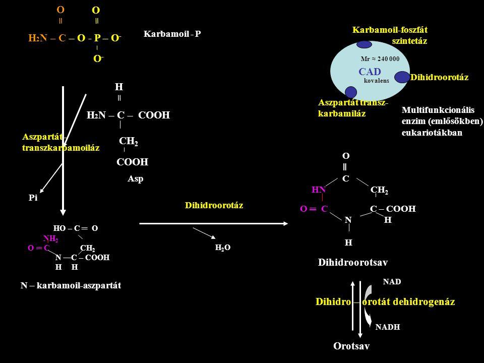 Dihidro – orotát dehidrogenáz