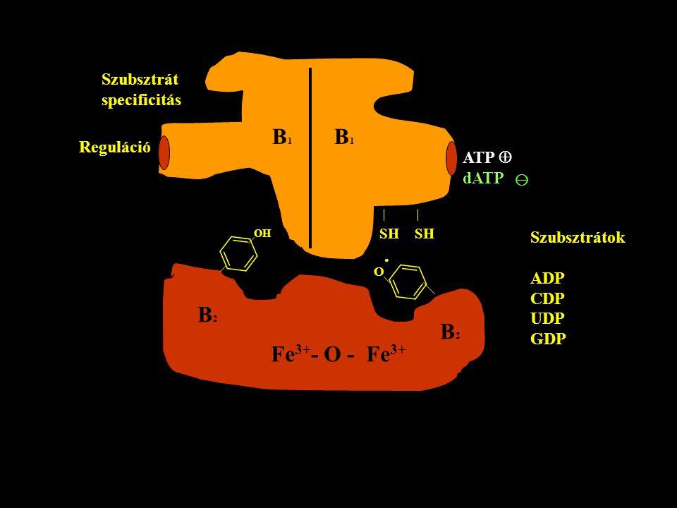 B1 B1 B2 B2 Fe3+- O - Fe3+ Szubsztrát specificitás Reguláció ATP 