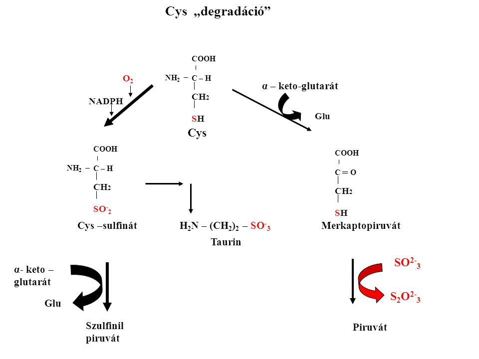 "Cys ""degradáció Cys SO2-3 S2O2-3 α – keto-glutarát"