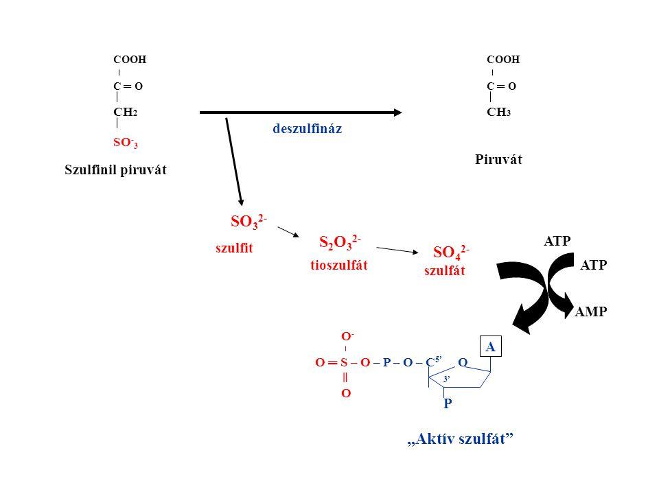 """SO32- S2O32- SO42- """"Aktív szulfát deszulfináz Piruvát"""