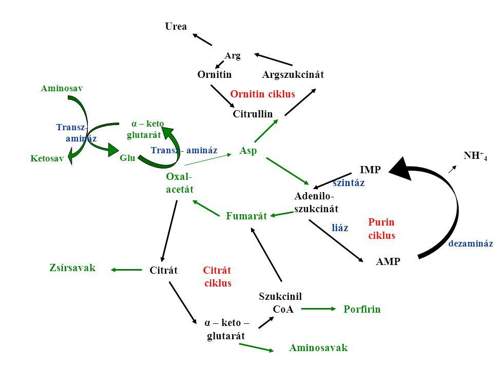 Urea Arg Ornitin Argszukcinát Ornitin ciklus Citrullin Asp NH+4 Oxal-