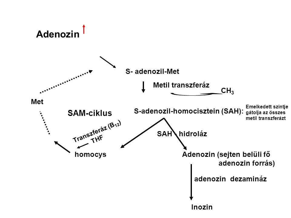 Adenozin SAM-ciklus S- adenozil-Met Metil transzferáz CH3 Met