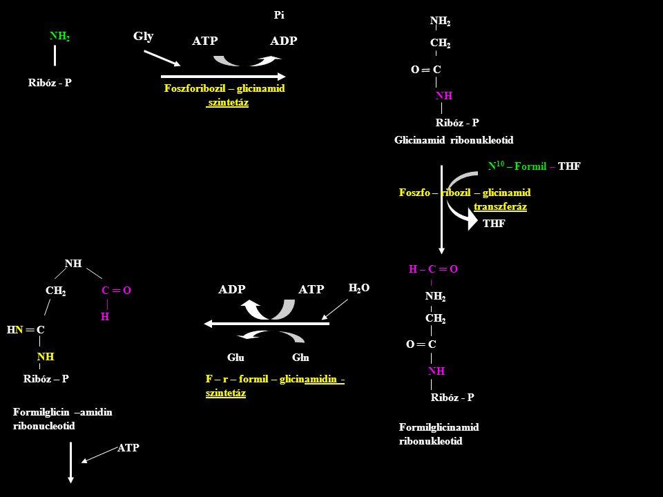 Gly ATP ADP ADP ATP Pi NH2 CH2 O C NH Ribóz - P NH2 ═ Ribóz - P