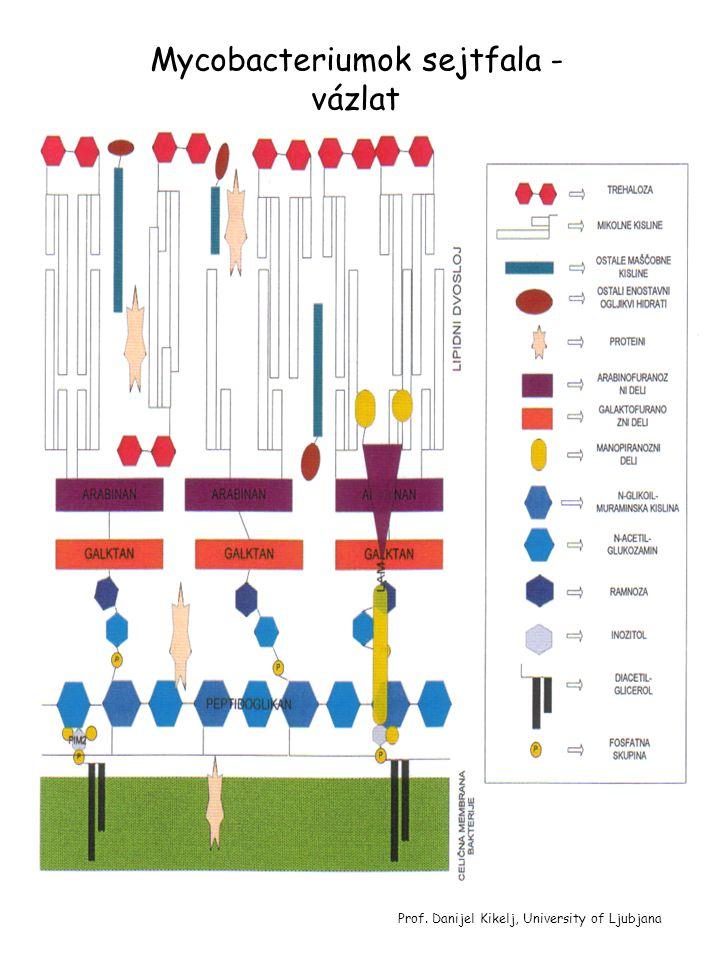 Mycobacteriumok sejtfala - vázlat