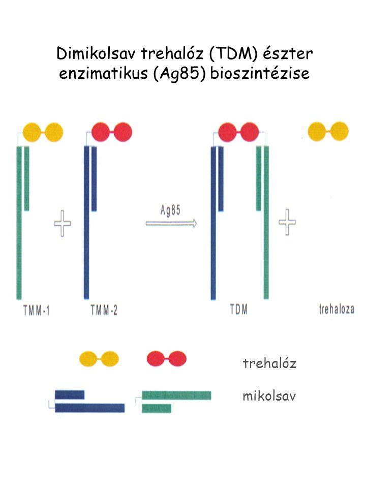 Dimikolsav trehalóz (TDM) észter enzimatikus (Ag85) bioszintézise