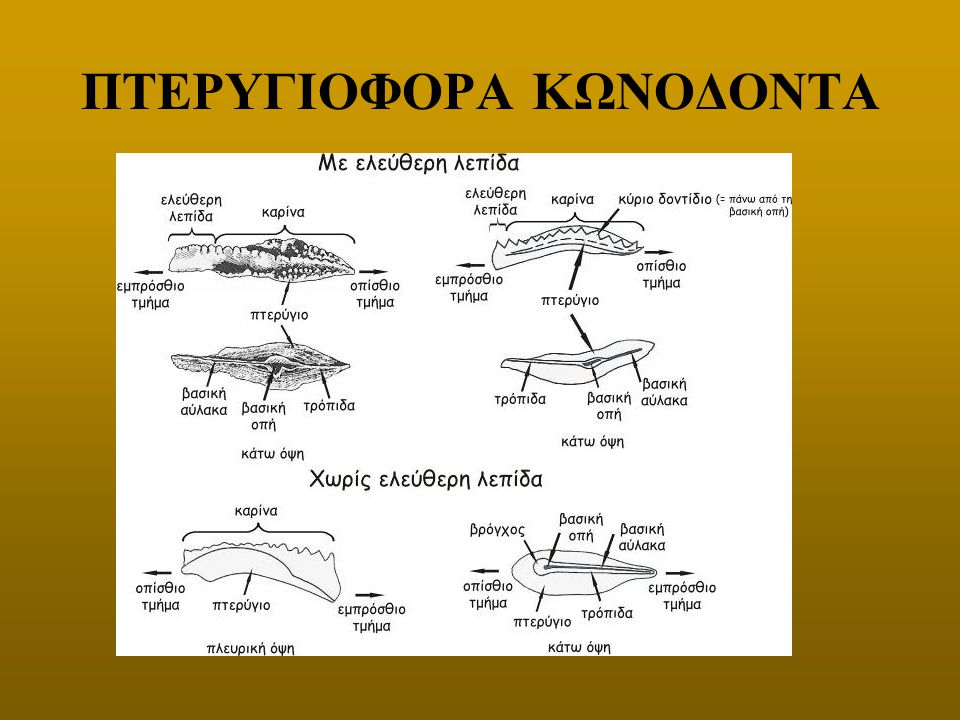 ΠΤΕΡΥΓΙΟΦΟΡΑ ΚΩΝΟΔΟΝΤΑ