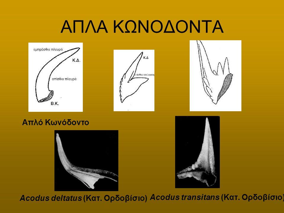 ΑΠΛΑ ΚΩΝΟΔΟΝΤΑ Απλό Κωνόδοντο Acodus deltatus (Κατ. Ορδοβίσιο)