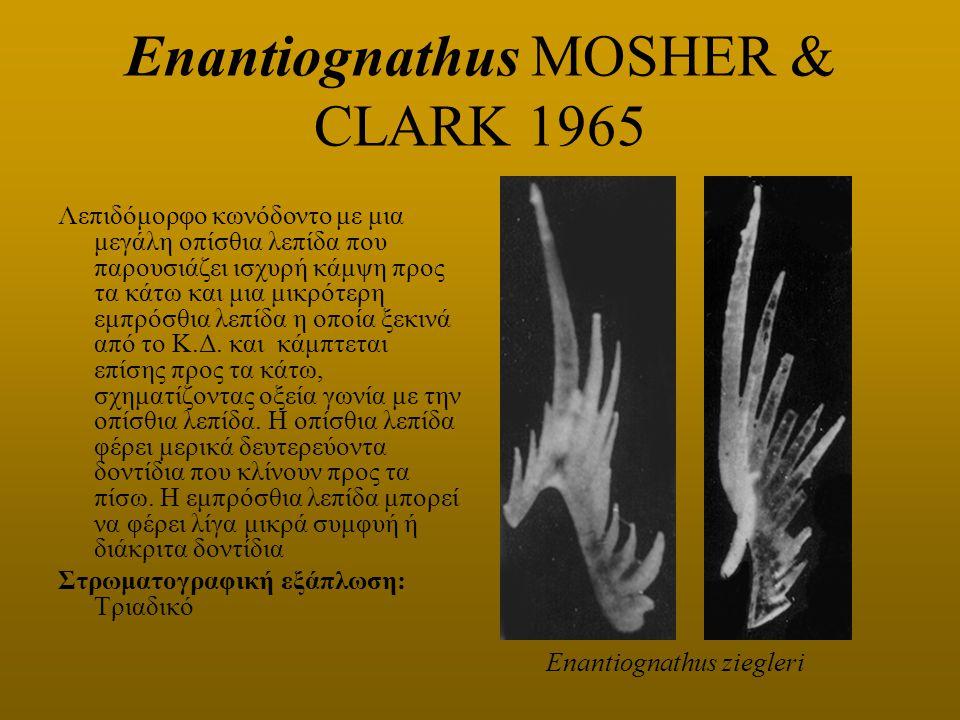 Enantiognathus MOSHER & CLARK 1965