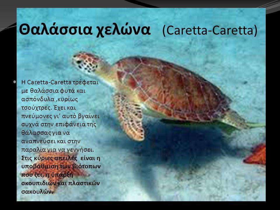 Θαλάσσια χελώνα (Caretta-Caretta)