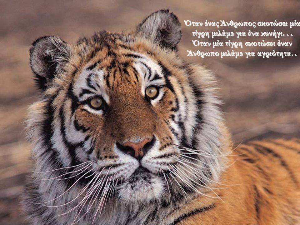 Όταν ένας Άνθρωπος σκοτώσει μία τίγρη μιλάμε για ένα κυνήγι
