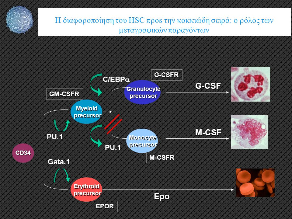 H διαφοροποίηση του HSC προs την κοκκιώδη σειρά: o ρόλος των μεταγραφικών παραγόντων