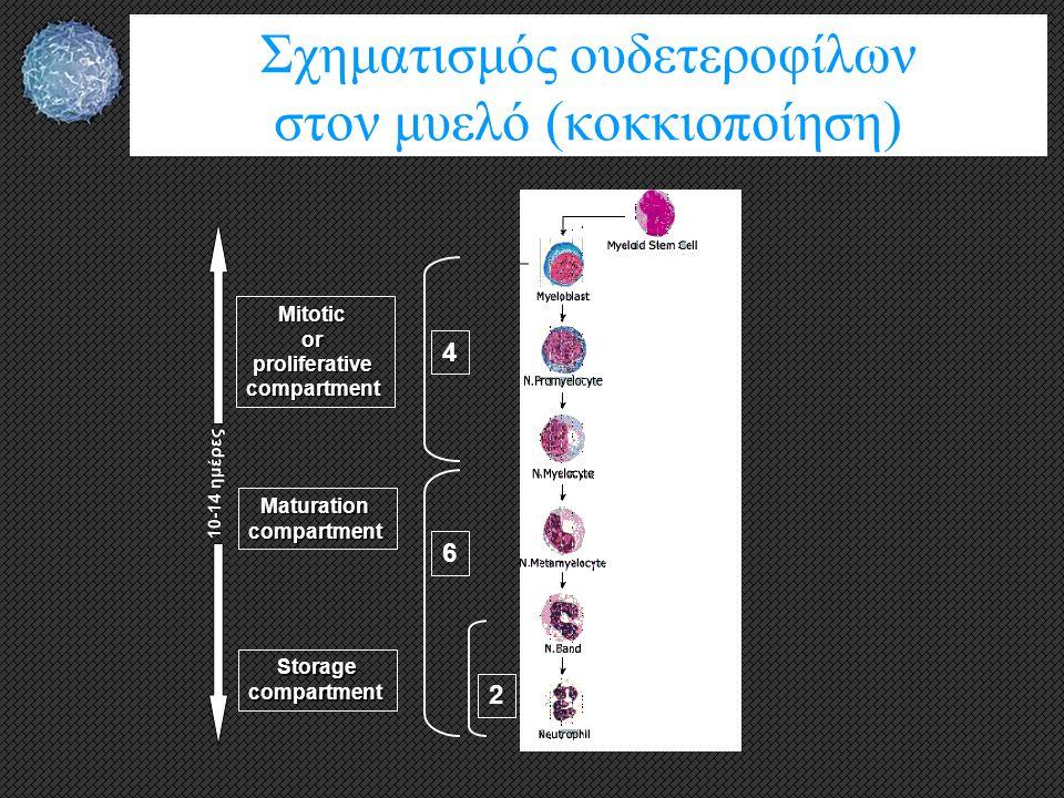 Σχηματισμός ουδετεροφίλων στον μυελό (κοκκιοποίηση)