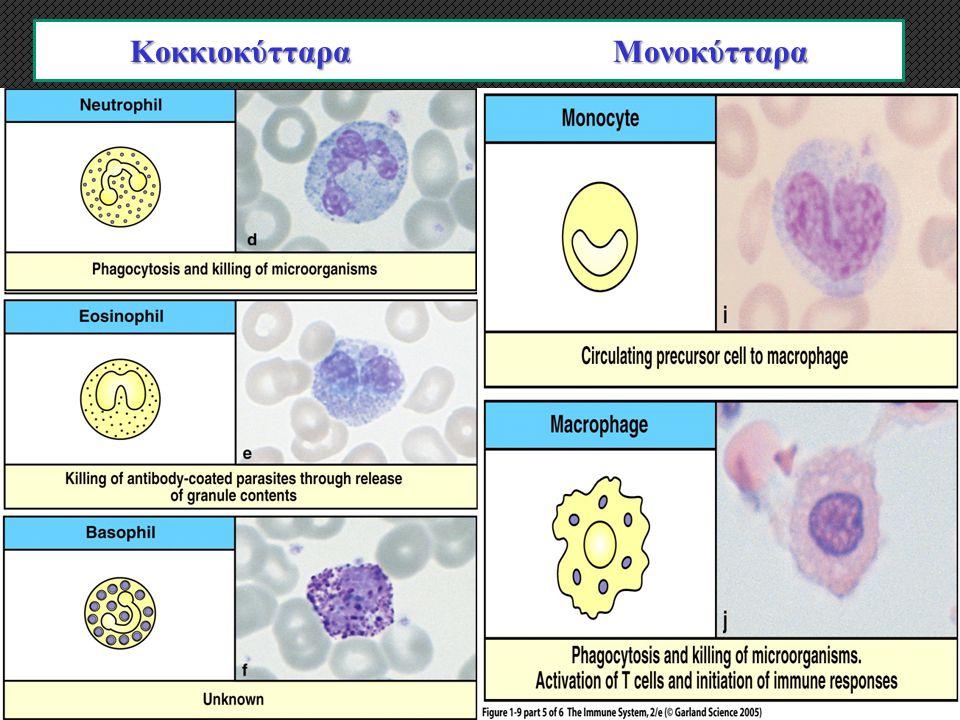 Κοκκιοκύτταρα Πολυμορφοπύρηνα Μονοκύτταρα