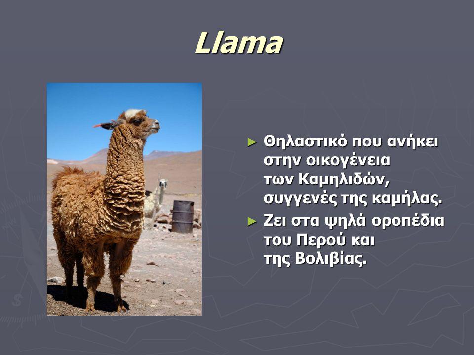 Llama Θηλαστικό που ανήκει στην οικογένεια των Καμηλιδών, συγγενές της καμήλας.