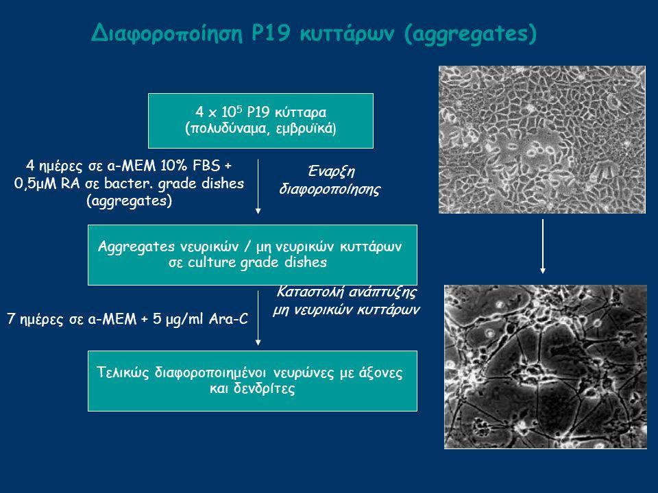 Διαφοροποίηση Ρ19 κυττάρων (aggregates)