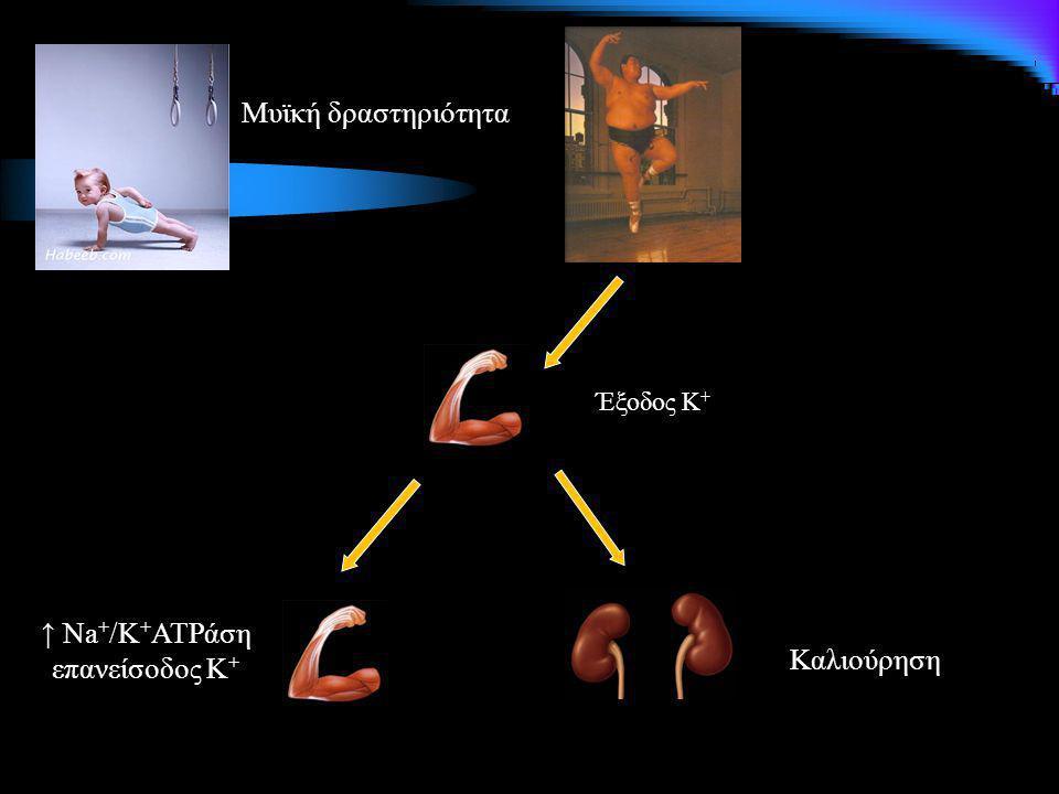 Μυϊκή δραστηριότητα Έξοδος Κ+ ↑ Na+/K+ATPάση επανείσοδος Κ+ Καλιούρηση