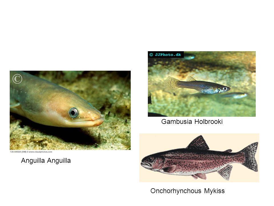 Gambusia Holbrooki Anguilla Anguilla Onchorhynchous Mykiss