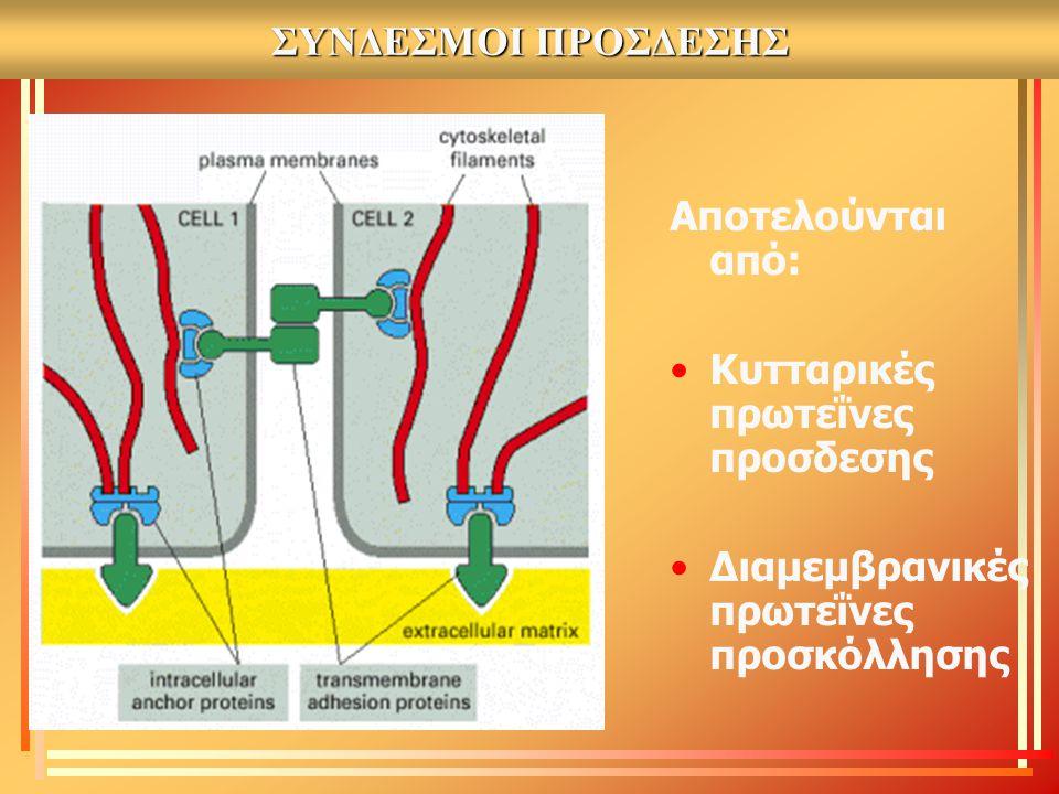 ΣΥΝΔΕΣΜΟΙ ΠΡΟΣΔΕΣΗΣ Αποτελούνται από: Κυτταρικές πρωτεΐνες προσδεσης.