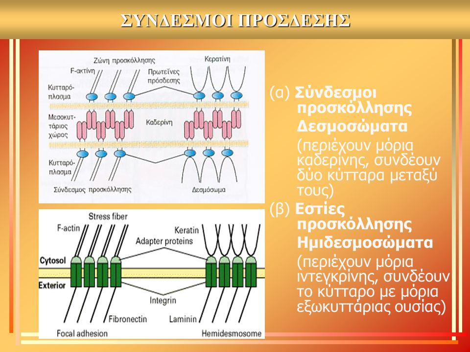 ΣΥΝΔΕΣΜΟΙ ΠΡΟΣΔΕΣΗΣ (α) Σύνδεσμοι προσκόλλησης Δεσμοσώματα