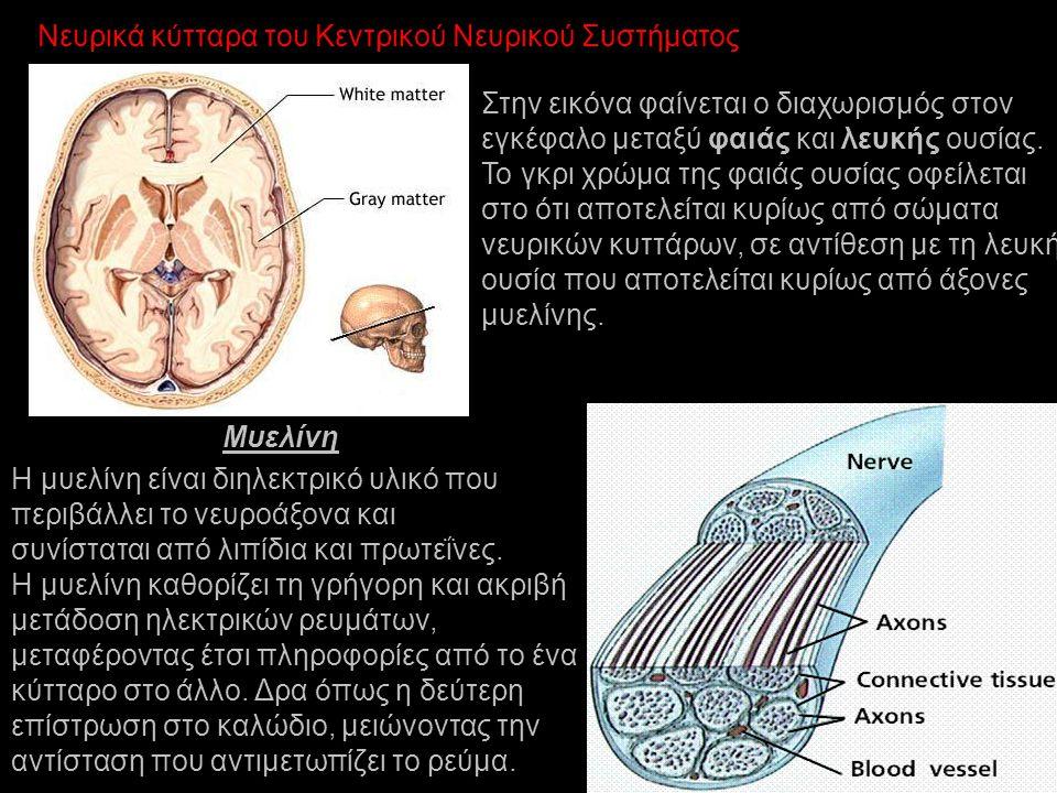 Νευρικά κύτταρα του Κεντρικού Νευρικού Συστήματος