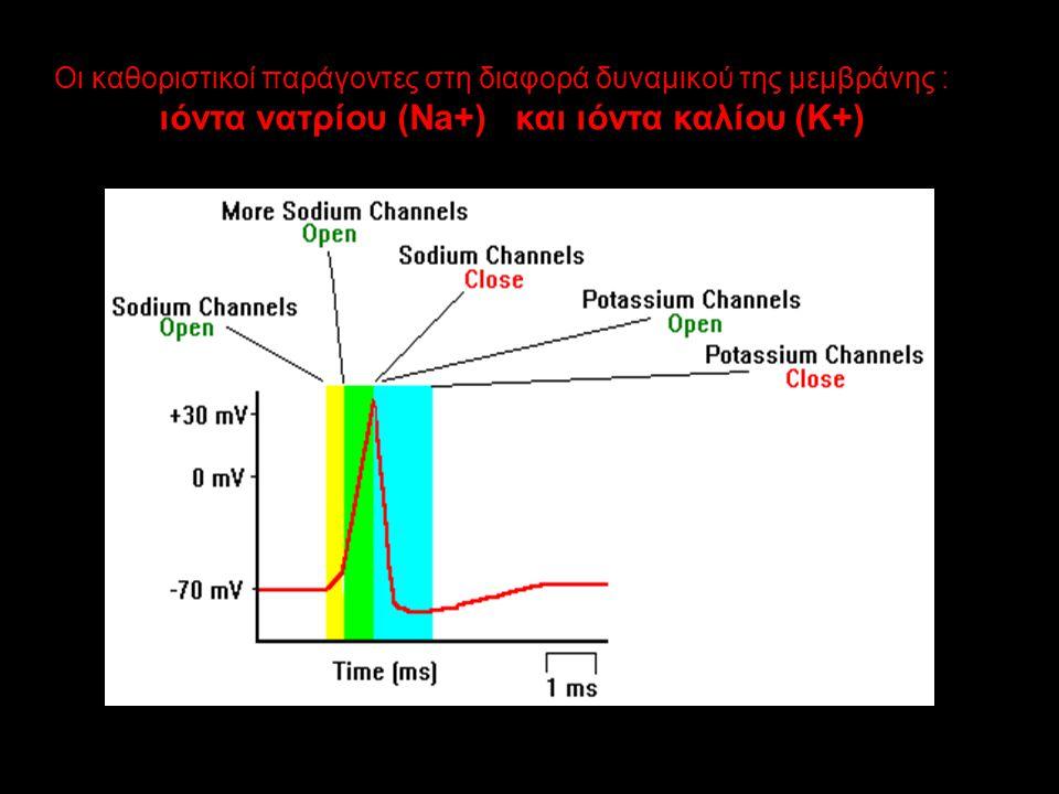 Οι καθοριστικοί παράγοντες στη διαφορά δυναμικού της μεμβράνης :