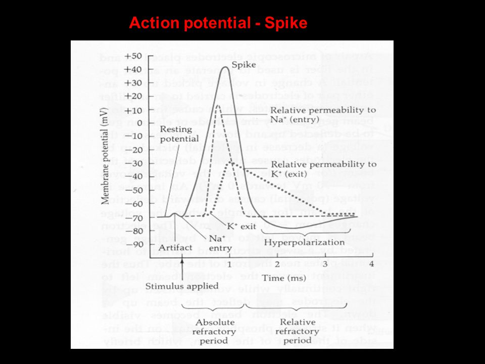 Action potential - Spike