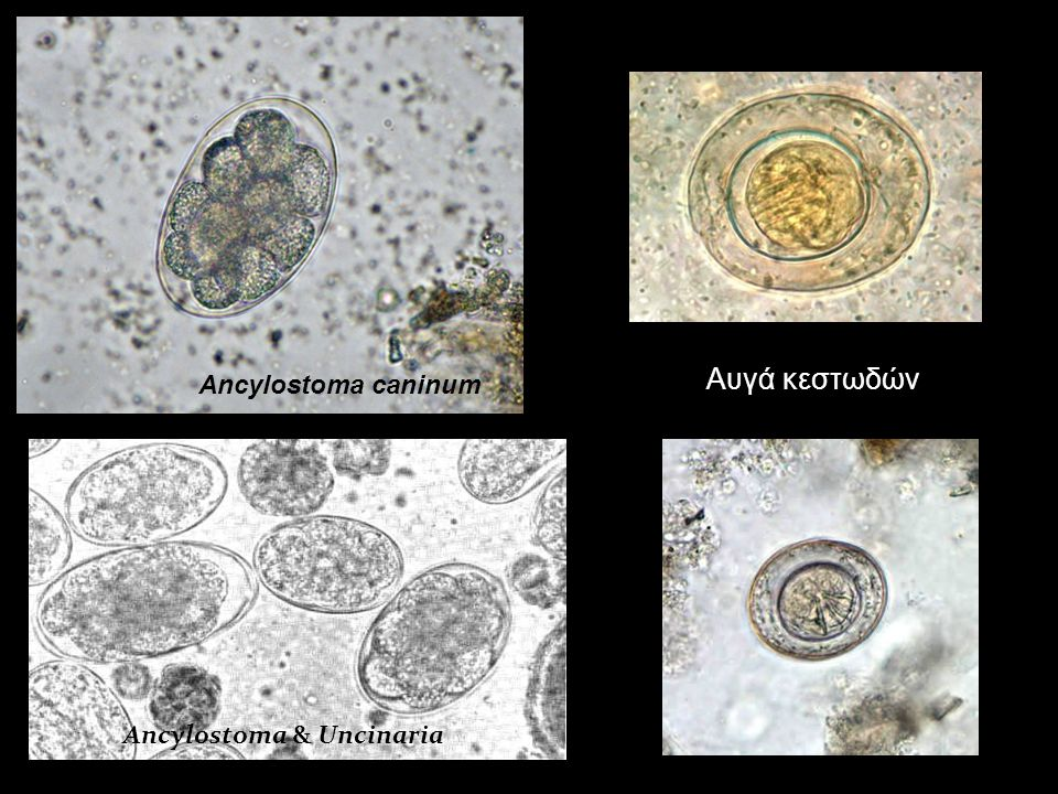 Ancylostoma caninum Αυγά κεστωδών Ancylostoma & Uncinaria