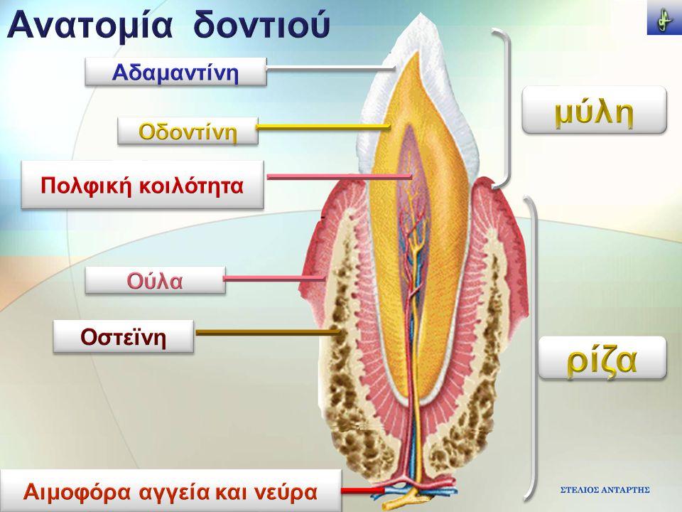Αιμοφόρα αγγεία και νεύρα