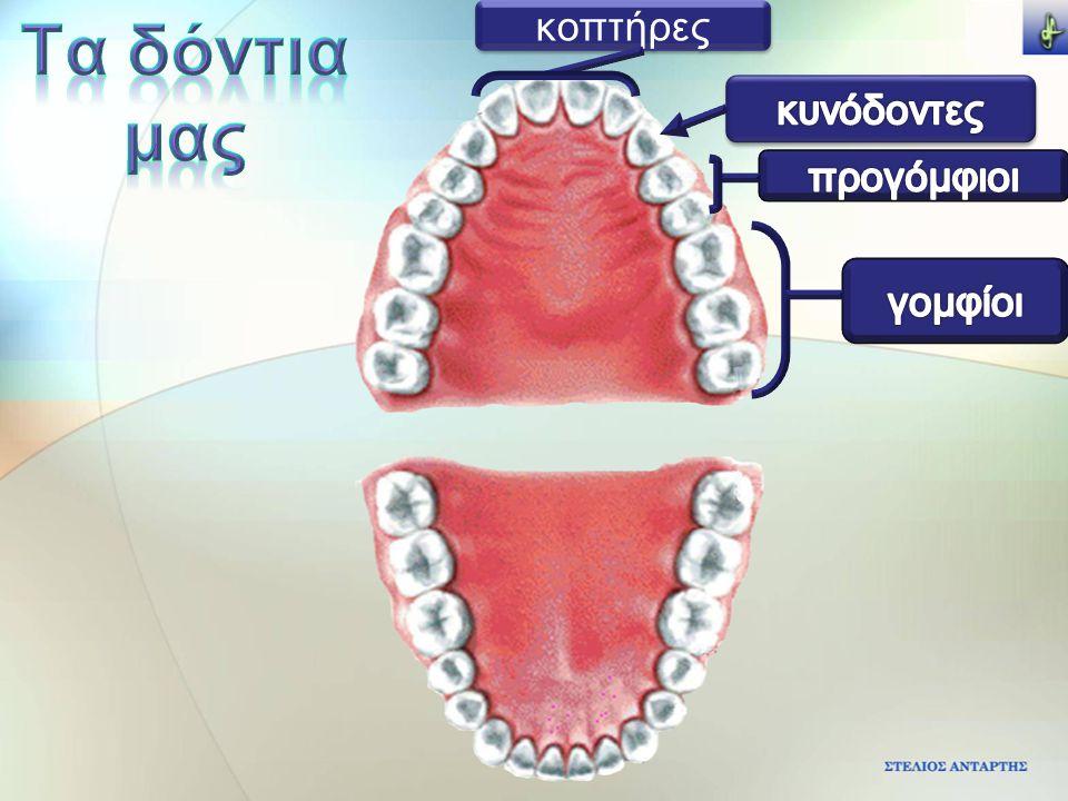 Τα δόντια μας κοπτήρες κυνόδοντες προγόμφιοι γομφίοι