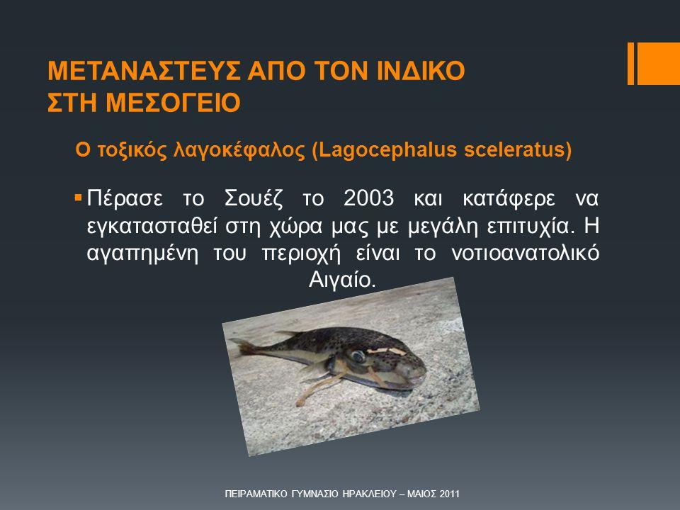 Ο τοξικός λαγοκέφαλος (Lagocephalus sceleratus)